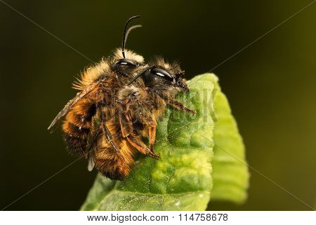 Mating Of Solitary Bee