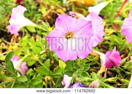 Pink Petunias Flowers