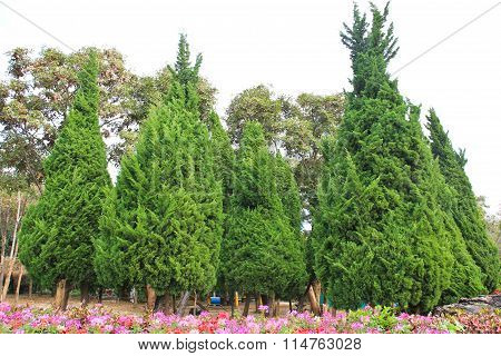 Garden With Pine Trees