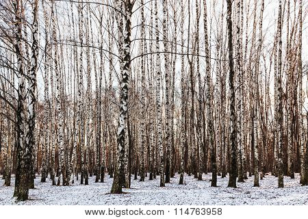 Birch Grove In Cold Winter Day