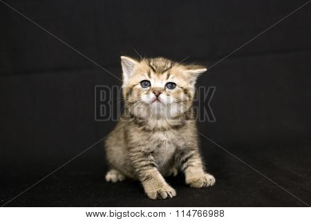 Smart little kitten on a dark background.