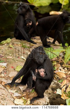 Celebes Crested Macaque