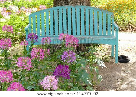 Green Bench And Blooming Spider Flower At The Flowerbed