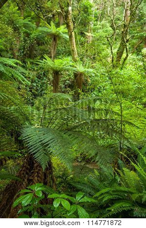 Fern trees in a temperate rainforest of New Zealand