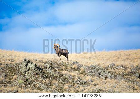 King Bighorn