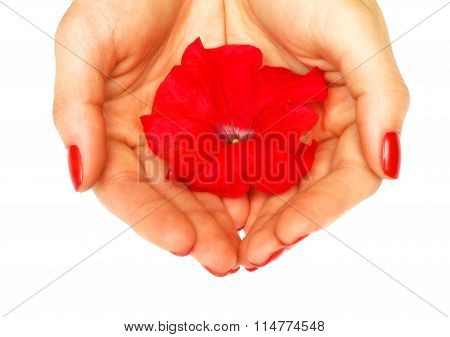 Red petunia flower in her hands on a white background