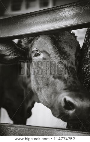 Close Up Face Of Black Ox In A Stable.
