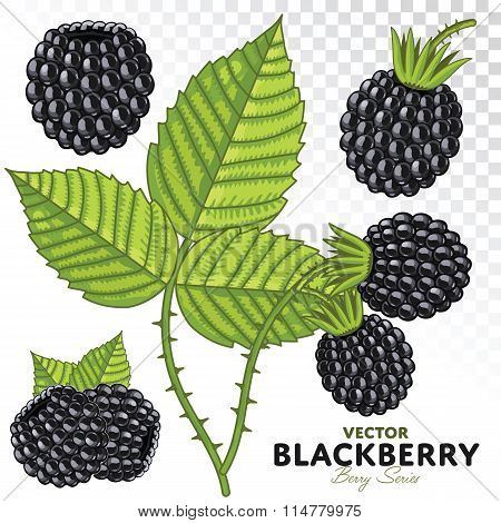 Blackberry Set, Vector.