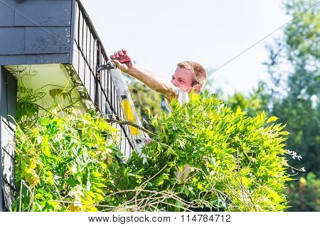 Trimming An Ivy With Hedge Trimmer.