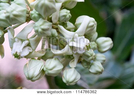 Close Up White Crown Flower Or Giant Indian Milkweed Or Gigantic Swallow-wort