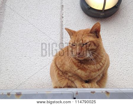 The Orange Strayed Cat Is Sitting In Japan