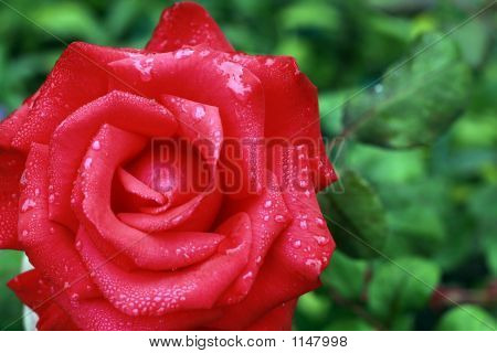 Beautifull Red Rose_Filtered