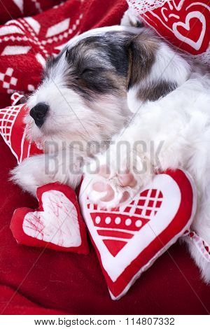 Sealyham Terrier puppy sleeps  on a pillow in the shape of heart
