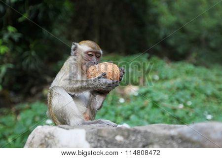 Monkeys eat coconut