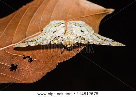 Biston Inouei Moth