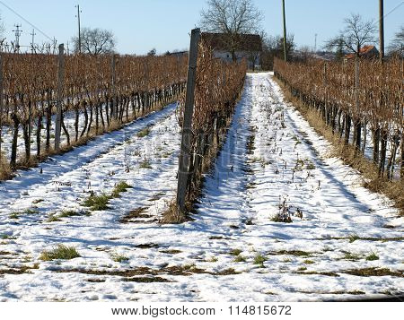 Wineyard In Winter