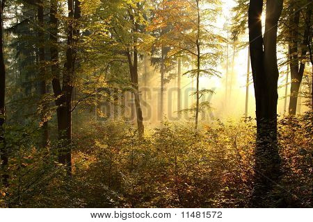 Misty autumn beech forest at dawn
