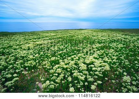 Large Meadow Steppe Flowers By The Sea .
