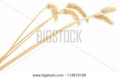 Wheat Bunch On White.