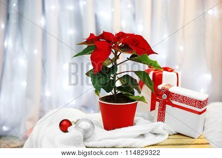 Christmas flower poinsettia indoor