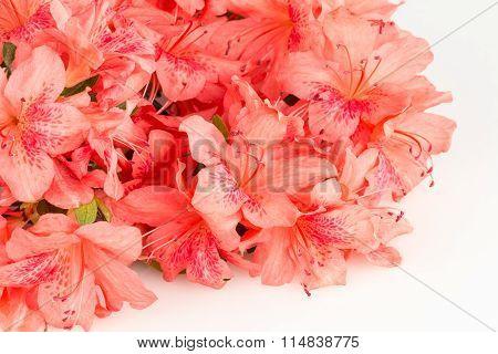 Salmon pink Azalea Flowers