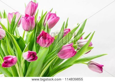 Pink Tulip Bunch Close Up