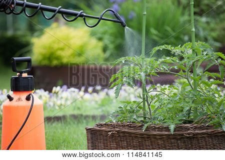 Protecting tomato plants from fungal disease or vermin with pressure sprayer gardening concept