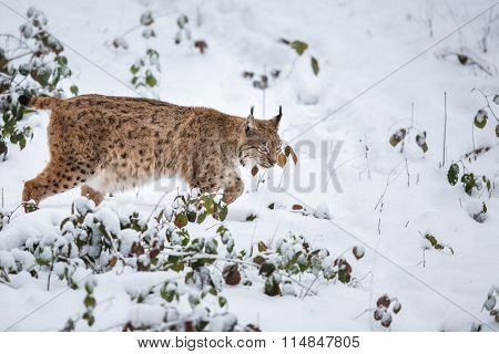 Eurasian Lynx (Lynx lynx) walking quietly in snow