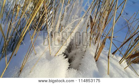 Dry Stalks Of Plants Covered With Snow