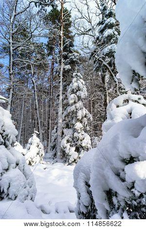 Beautiful Snowy Forest Landscape, Season Concept