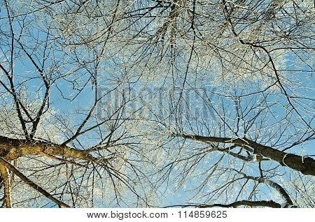 Trees Extending The Sky - Winter Forest Landscape