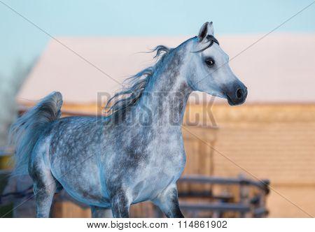 Gray elegant stallion of purebred Arabian breed - portrait in motion