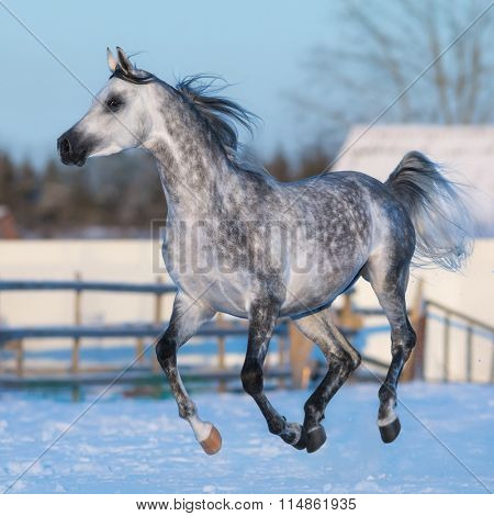 Dapple-grey stallion of Arabian breed galloping on snow meadow