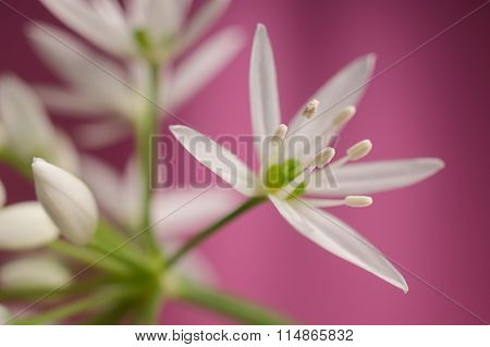 Ramsons Bear Garlic Flower Petals And Stamen Against Pink Background