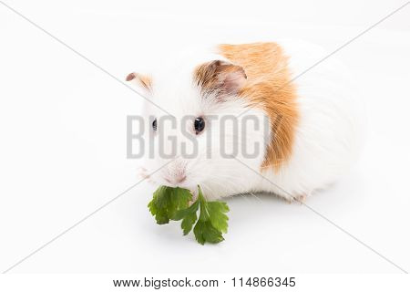 Cute feeding guinea pig isolated on white