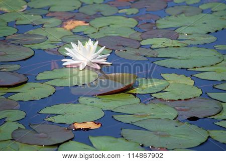 Lovely Water Lily and Lily Pads Floating in a Pond on a Sunny Summer's Day