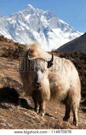 Yak On The Way To Everest Base Camp And Mount Lhotse