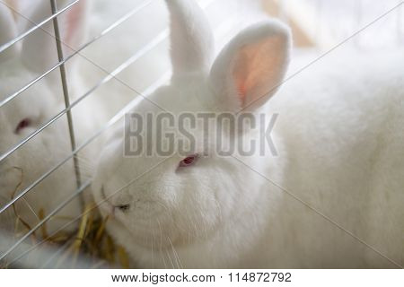 Big White Rabbit In The Cage
