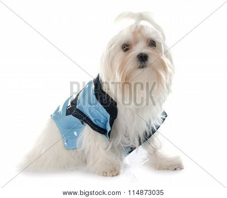Dressed Young Maltese Dog