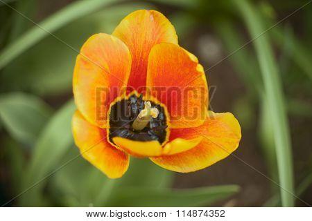 Tulip Bienvenue