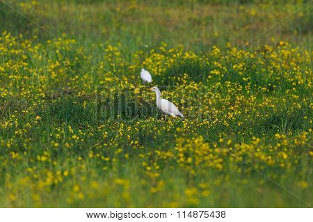 Cattle Egret Bubulcus Ibis In Green Grass