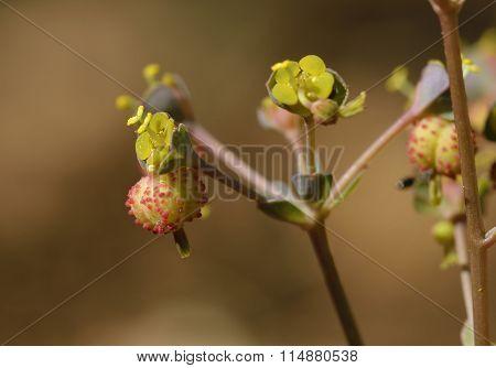 Euphorbia Dimorphocaulon