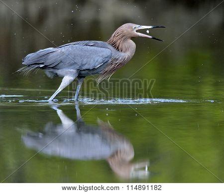Little Blue Heron (egretta Caerulea) Fishing