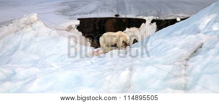 Polar bear and ivory gull on iceberg with the prey