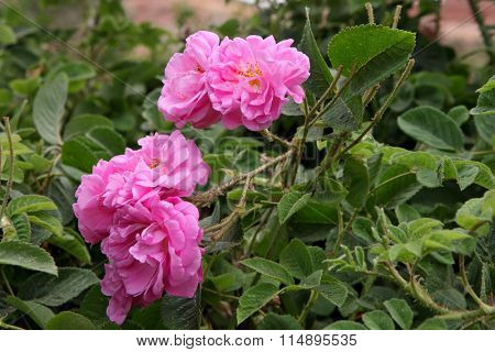 Damascus pink rose in a garden