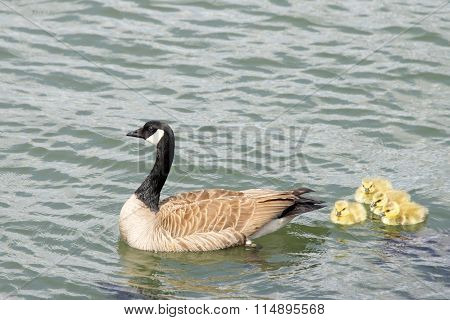Canada goose swimming with goslings