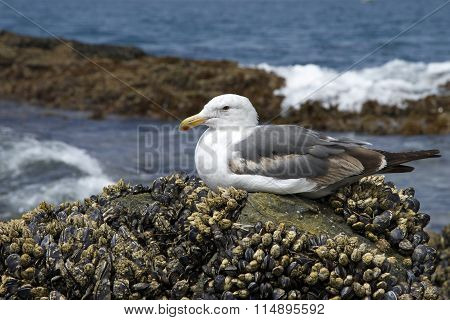 California Sea Gull perched on tide-pool rocks crusted with muscle shells