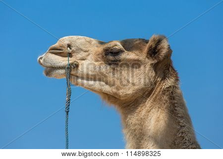 Arabian Camel Head Close-Up