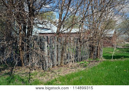 Mulberry Trees Growing in a Fence