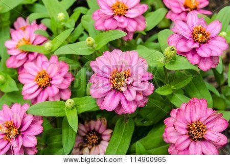 Beautiful Pink Zinnia flowers in the garden